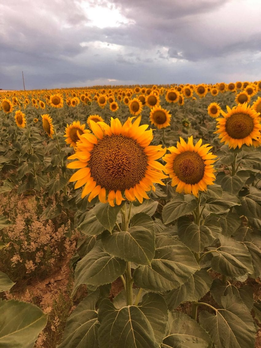 image of sunflowers you are not the only one