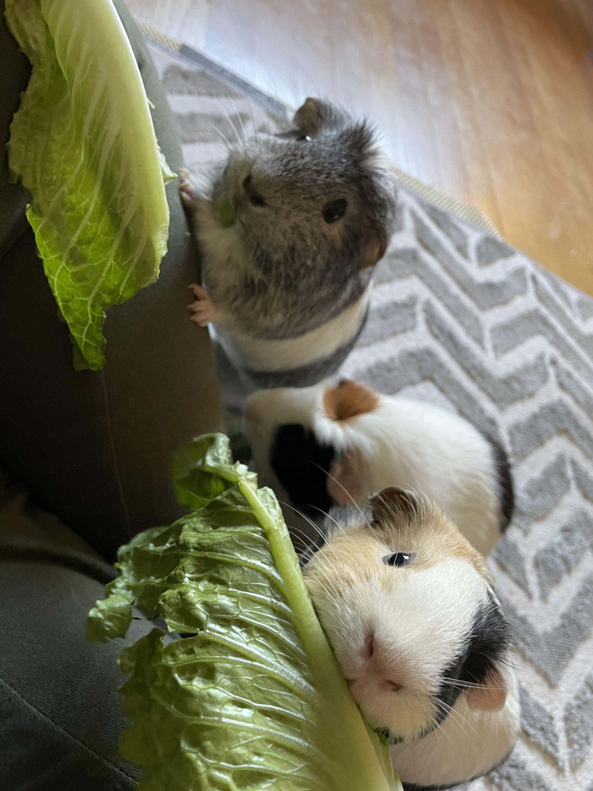 Image of 3 guinea pigs.