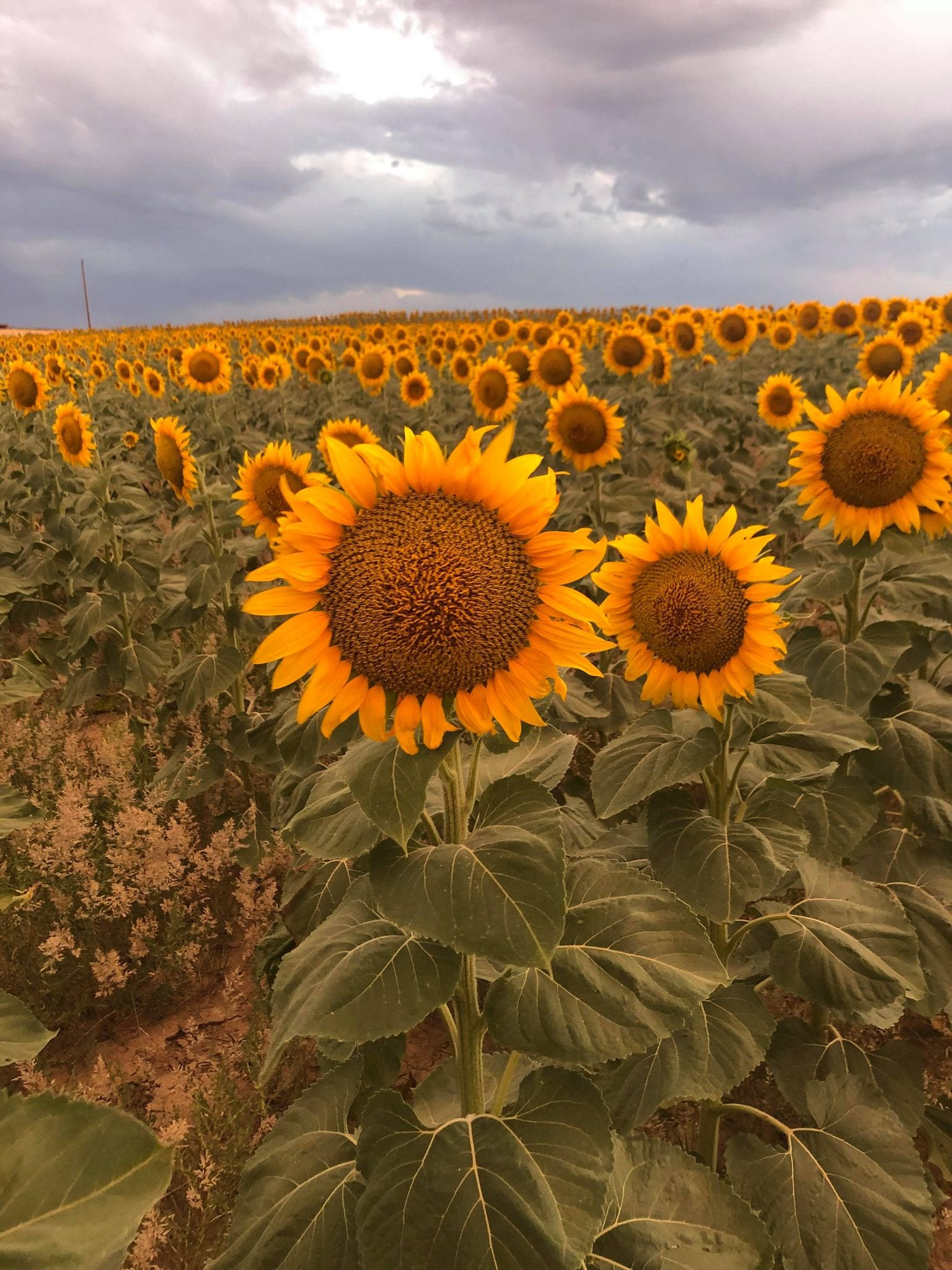 picture of sunflower in sunflower field